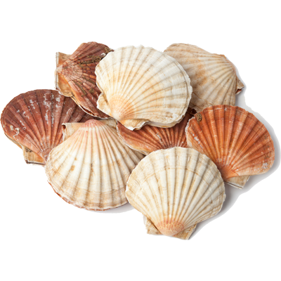 Raw Scallop with shell
